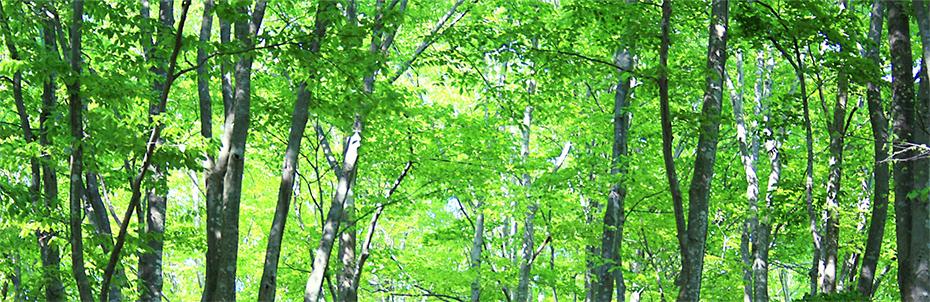 新緑のひのきの写真